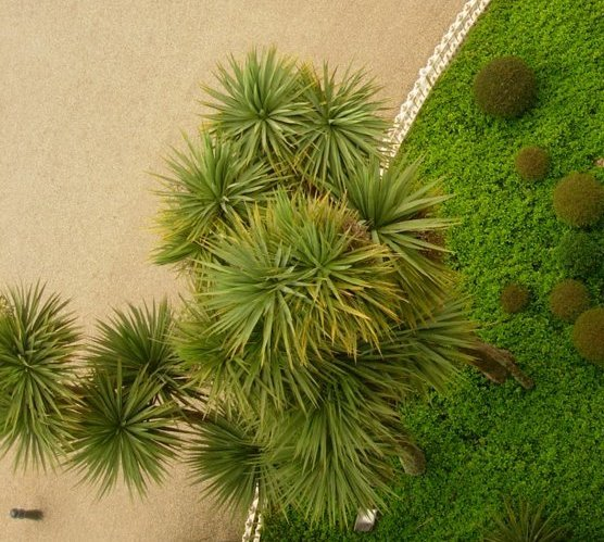 cordyline_from_above