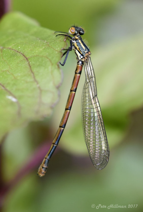 large-red-damselfly-pyrrhosoma-nymphula-teneral
