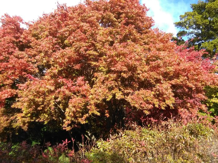 rsz_acer_maple_fall_2017