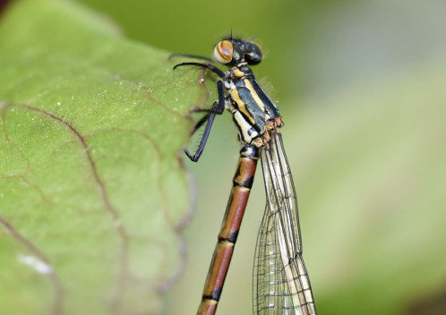 rsz_large-red-damselfly-pyrrhosoma-nymphula-teneral_top