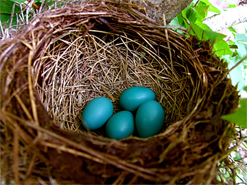 10Four-blue-robins-eggs
