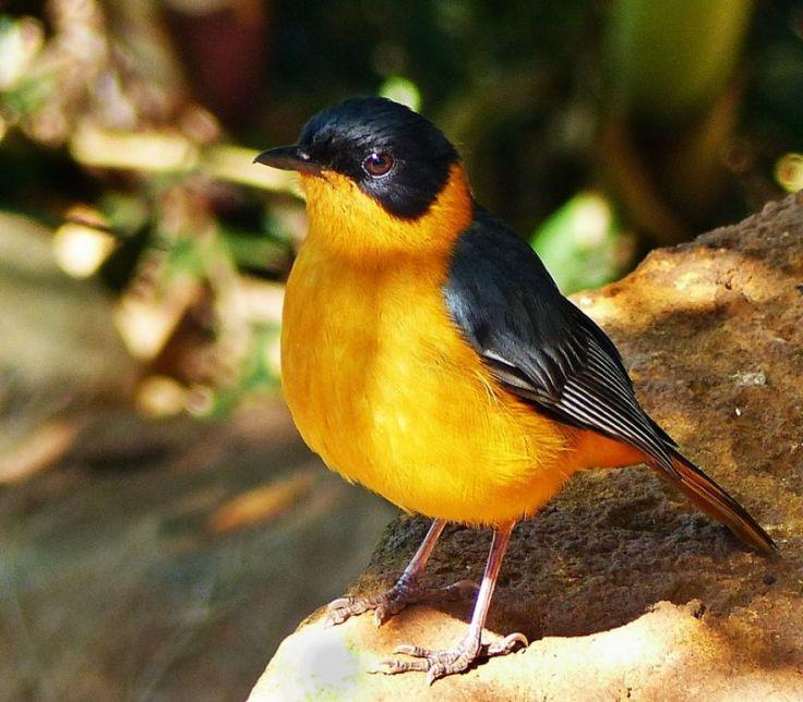chorister-robin-chat-1