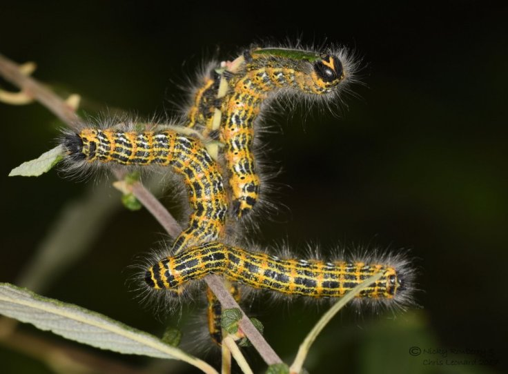 grafton-buff-tip-caterpillars