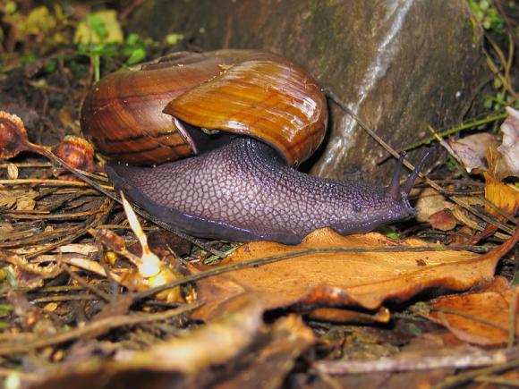 powelliphanta-snails