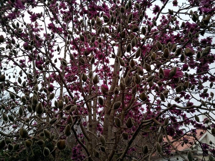 rsz_dbot_magnolia2_02