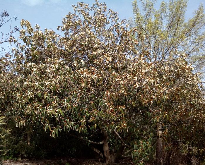 rsz_dbot_white_magnolia_gold_buds_01