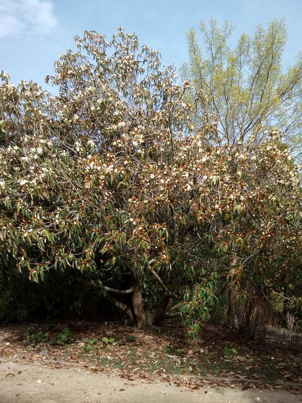 rsz_dbot_white_magnolia_gold_buds_02