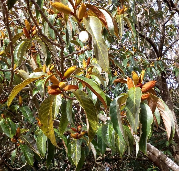 rsz_dbot_white_magnolia_gold_buds_03