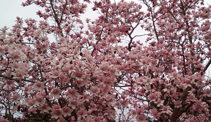 rsz_magnolias_dbot_26Aug2017_03