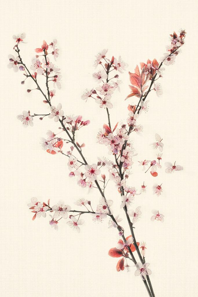 Harold Davis - Cherry Branches