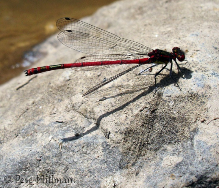 large-red-damselfly-pyrrhosoma-nymphula1