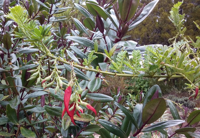 rsz_clianthus_red_detail