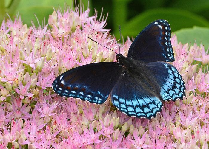 rsz_indigo_butterfly