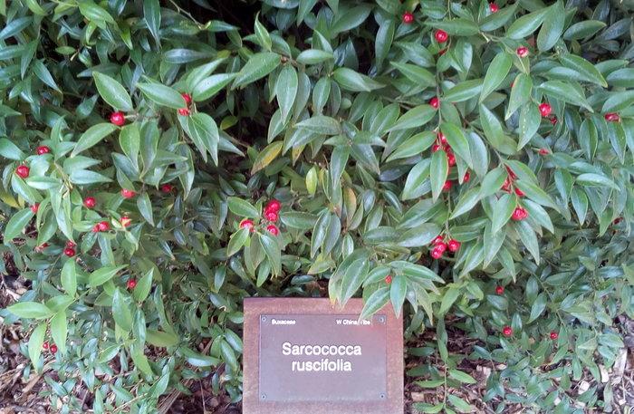 rsz_sarcococca_ruscifolia_04