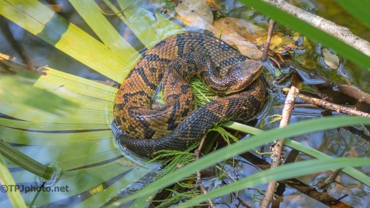 Venomous Cottonmouth Viper - click to enlarge
