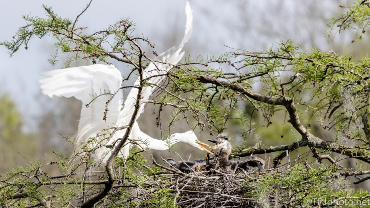 Attacking Great Egret, Great Blue Heron Young - click to enlarge