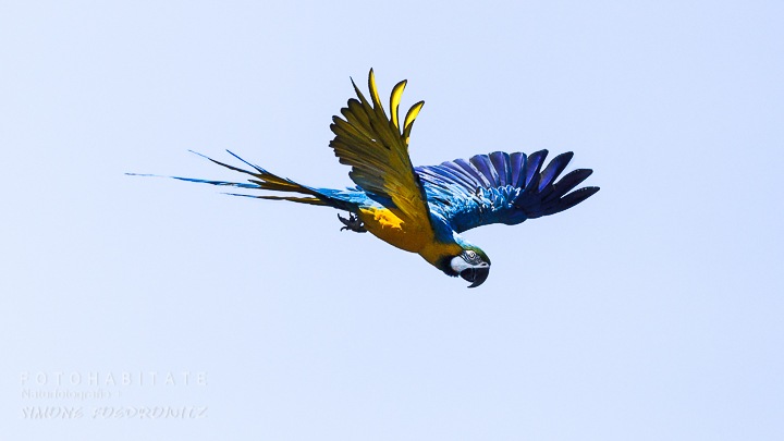 G-0006-fotohabitate_beauty-flying-blue-macaw