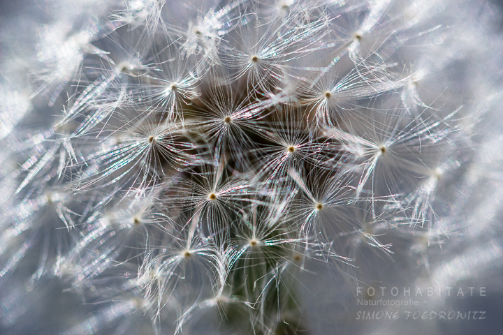 G-0013-fotohabitate_beauty-dandelion