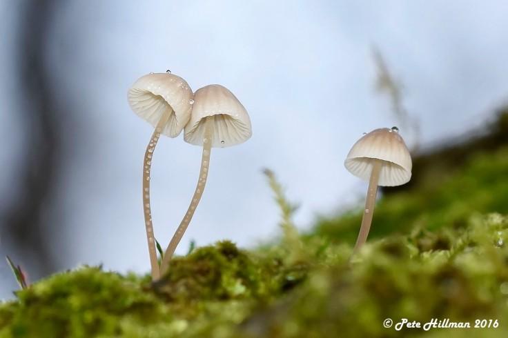Iodine Bonnet (Mycena filopes) 04