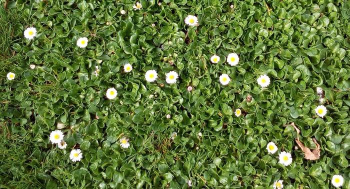 rsz_daisies_crop_dbot