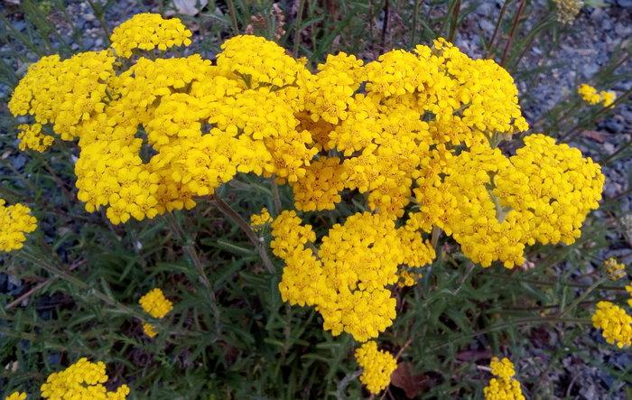 rsz_dbot_yellow_achillea