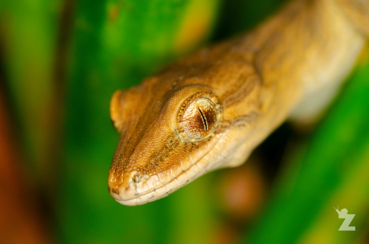 Zoomology Up-Close (Coromandel Striped Gecko, NZ)
