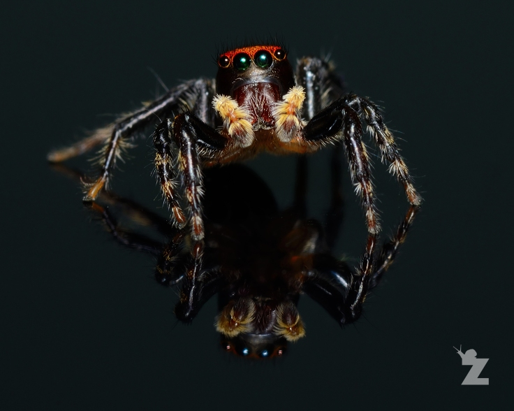 Zoomology Up-Close (House Hopper Jumping Spider, NZ)