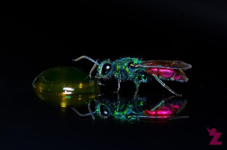 Zoomology Up-Close (Ruby-tailed Wasp, UK)