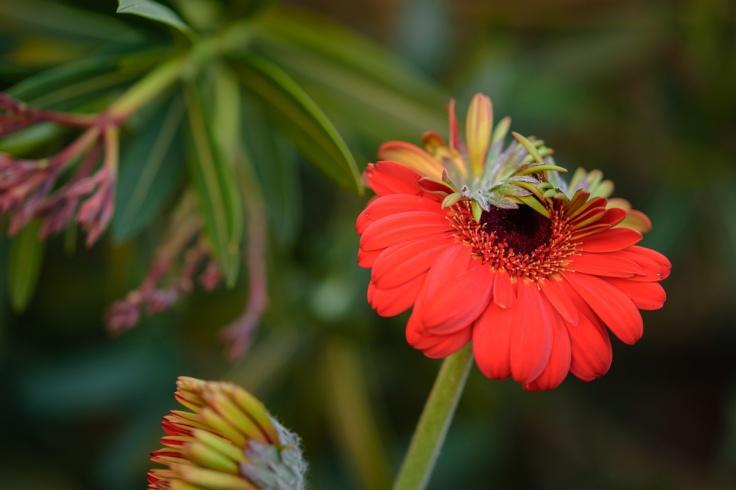 dsc 005-4615-Gerbera Daisy-Flower Photography-Garden