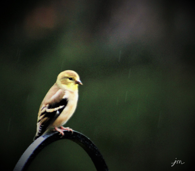 goldfinch-in-the-rain