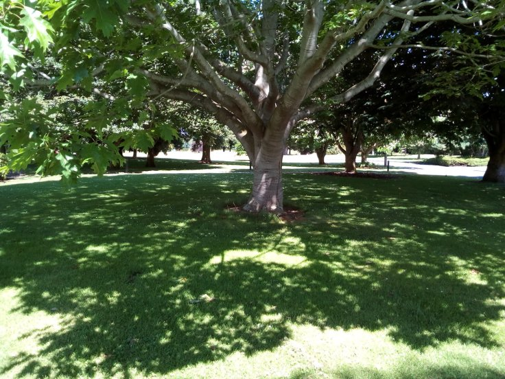 rsz_invermay_trees_07_1200w