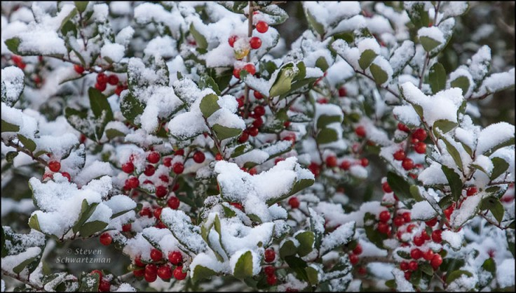snow-on-fruit-covered-yaupon-0928a