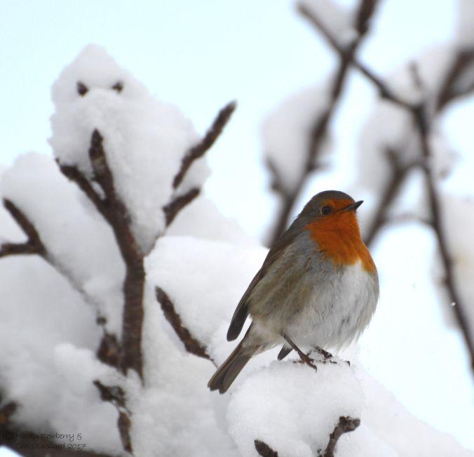 snowy-robin-41