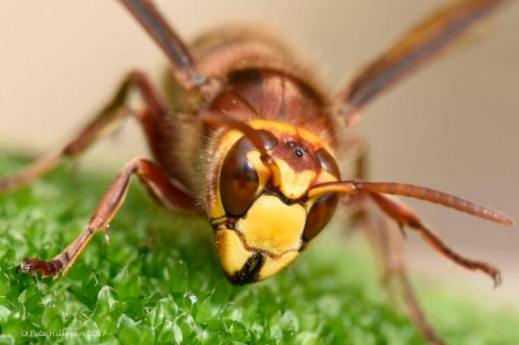 european-hornet-vespa-crabro-02