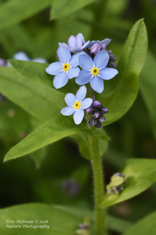forget-me-not_sm