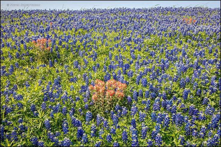 indian-paintbrushes-in-bluebonnet-colony-3419