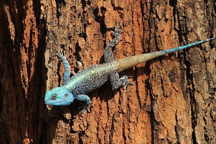 Southern-Tree-Agama-Crocodile_Bridge-April_2013