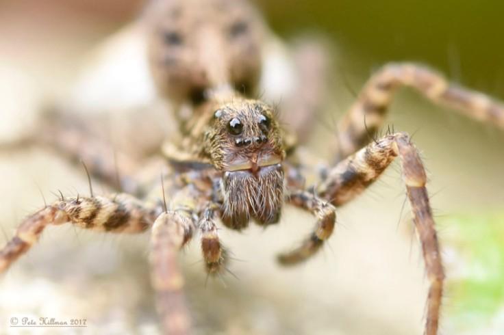 spotted-wolf-spider-pardosa-amentata-female-05
