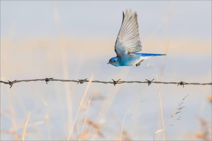 spring-bluebirds-on-the-fence-line-c2a9-christopher-martin-7728