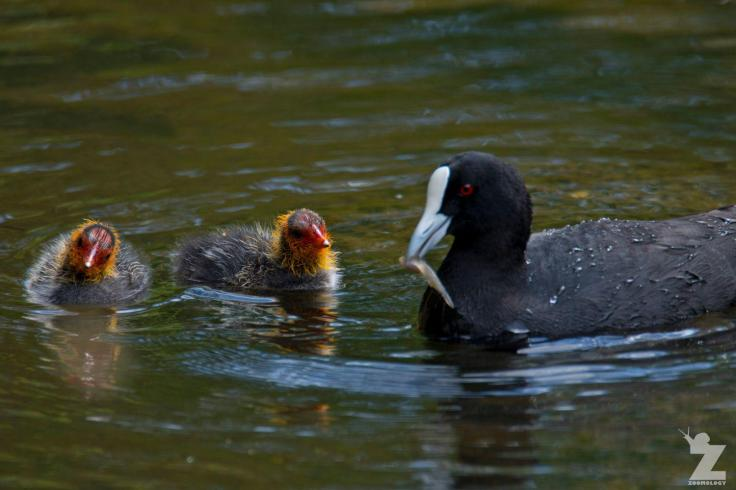 fulica-atra-australis-australian-coot-virginia-lake-new-zealand-05-11-2017-4