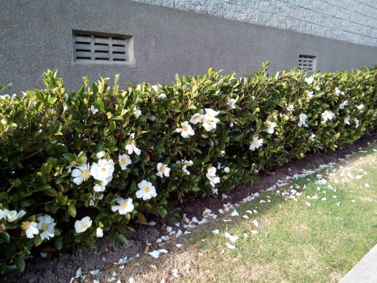 rsz_camellia_hedge_near_home_19May2018