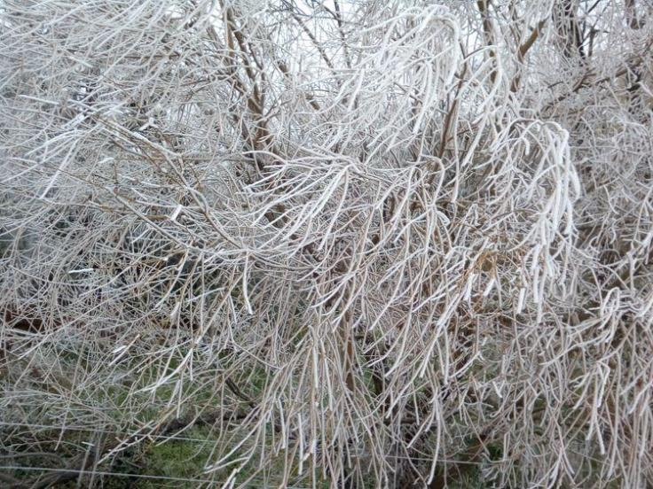 winter_willow_03