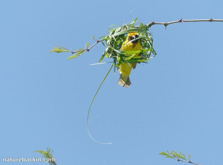 13-nestbuilding-weavers-20