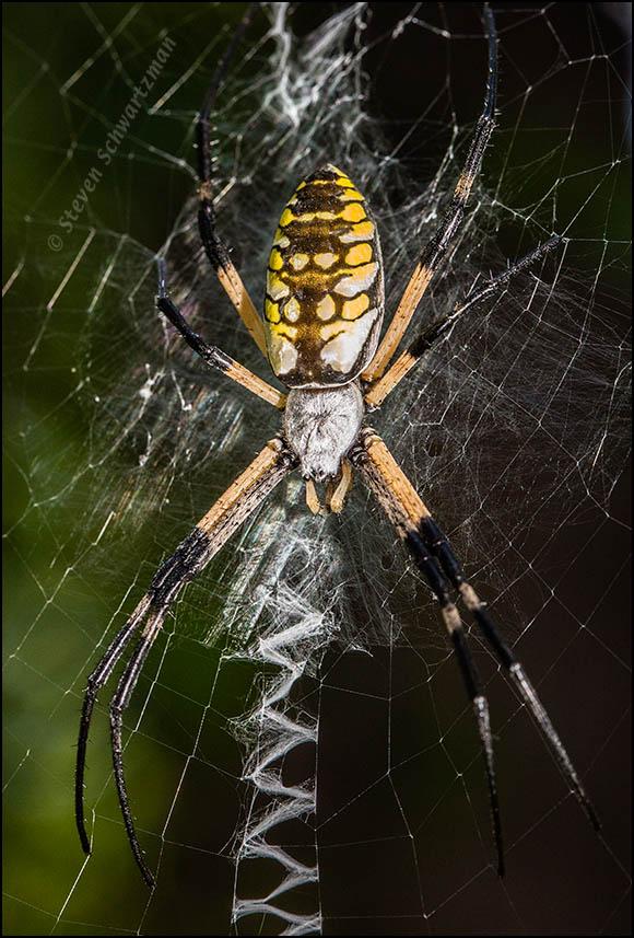 argiope-aurantia-orbweaver-spider-1894