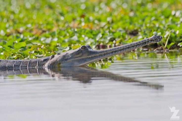 gavialis-gangeticus-gharial-chitwan-national-park-nepal-22-04-2018-zoomology