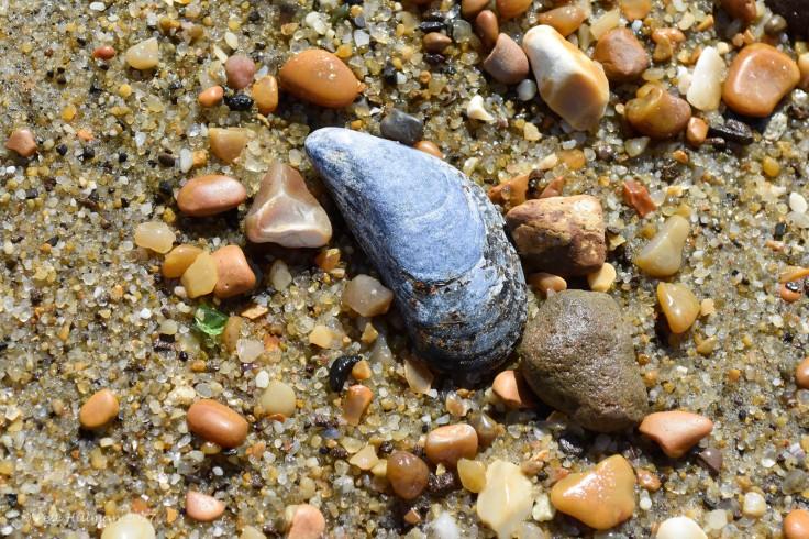 common-mussel-mytilus-edulis