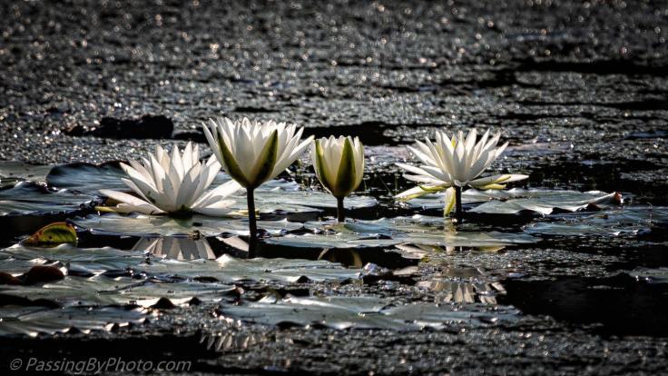 ellen_jennings_water_lilies_1500w