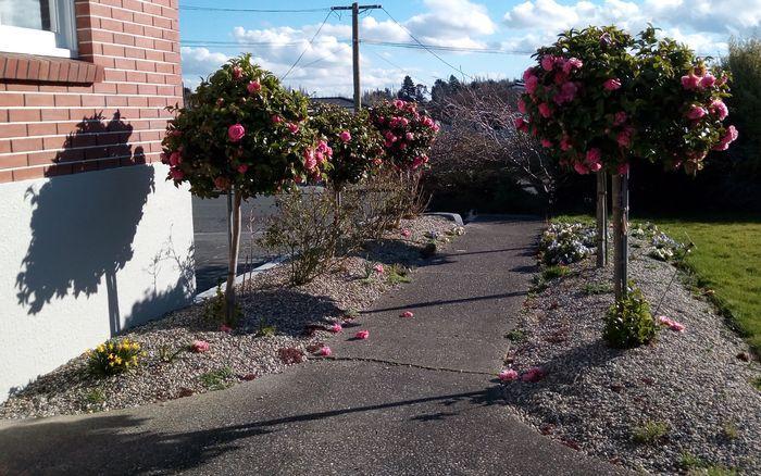 gore_camellias_700w