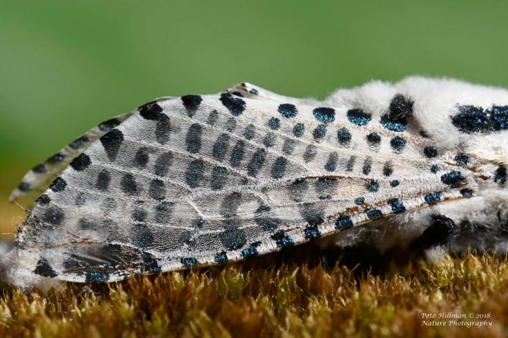 leopard-moth-zeuzera-pyrina-04