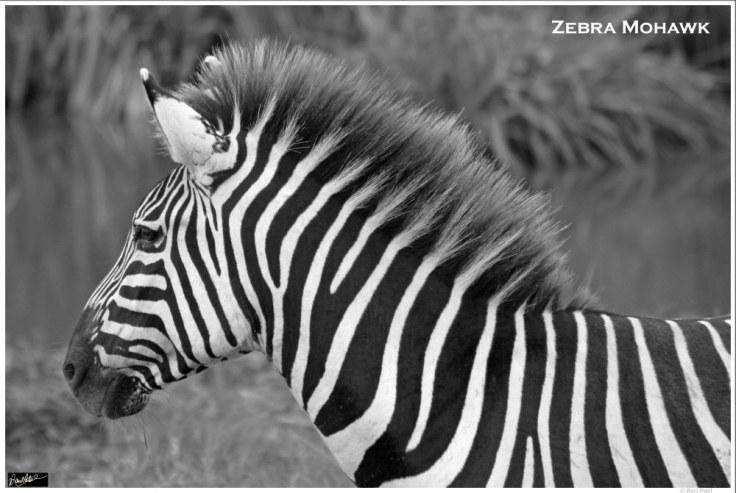ravi_patel_zebra-mohawk
